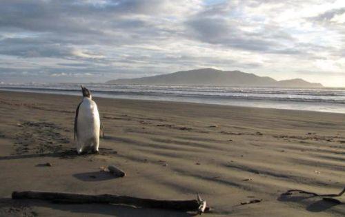 pinguino-perso-Nuova-Zelanda-1
